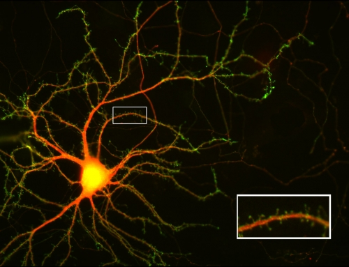 Visualizing the receiver structures of a nerve cell